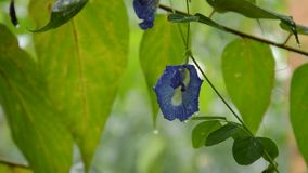 Butterfly pea flower hanging from brunch on rainy day in garden. Butterfly pea flower hanging from brunch on rainy day in the garden stock footage