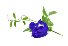 Butterfly Pea flower Stock Images