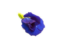 Butterfly Pea. Flower isolated on white background Stock Photos