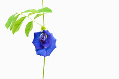 Butterfly Pea. Flower and leaf on isolate background stock photos