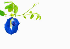 Butterfly Pea. Flower and leaf on isolate background Royalty Free Stock Photography