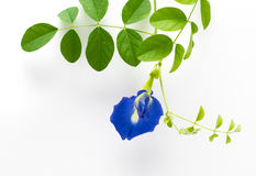 Butterfly Pea. Flower and leaf on isolate background Stock Photo