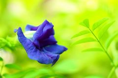 Butterfly pea flower and natural green background Royalty Free Stock Images