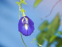 Butterfly pea flower, Purple flower Stock Image
