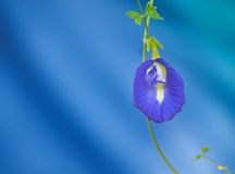 Butterfly pea flower, Purple flower Stock Photography