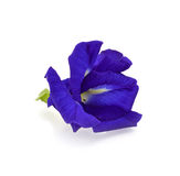 Butterfly Pea flower royalty free stock photo