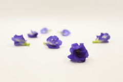 Butterfly pea flower on white background Stock Images