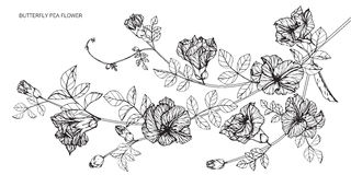 Butterfly pea flowers drawing and sketch with line-art Royalty Free Stock Photo