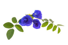 Butterfly pea flowers and leaves Royalty Free Stock Photography