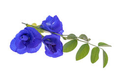 Butterfly pea flowers and leaves Stock Photography