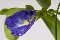 Butterfly pea flowers. Purple color white background Stock Photos