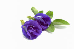 Butterfly Pea flowers. On white background ,selective focus, popular, Clitoria ternatea Royalty Free Stock Photo