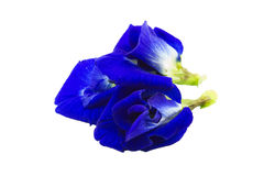 Butterfly pea isolate on white backgrounds Stock Photography
