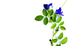 Butterfly pea  isolate on whtie background Stock Images