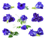 Butterfly Pea Stock Images