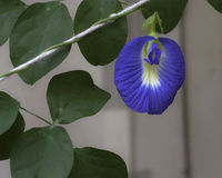 Butterfly Pea Plant. Clitoria Ternatea plant, cultivated, in a garden stock photography