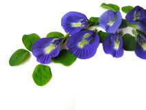 Butterfly Pea Seven Stock Photo