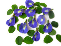 Butterfly Pea Twelve Stock Photos