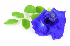 Butterfly Pea Royalty Free Stock Photos