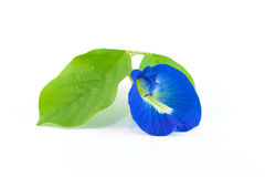 Butterfly Pea. On white background Stock Photos