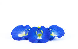Butterfly Pea. On white background Royalty Free Stock Photos