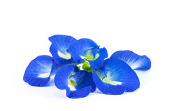 Butterfly Pea. On white background Stock Images
