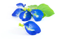 Butterfly Pea. On white background Royalty Free Stock Images