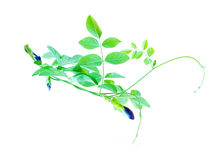 Butterfly Pea  on white Royalty Free Stock Photography
