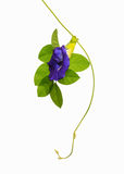 Butterfly Pea on white background Royalty Free Stock Image