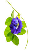 Butterfly Pea on white background Royalty Free Stock Images