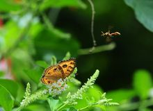 butterfly peacck pansy junonia almana Royalty Free Stock Photography