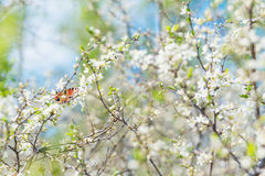 Butterfly peacock among cherry flowers Stock Photography