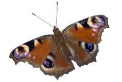Butterfly peacock Stock Photos