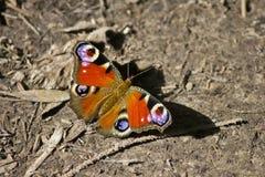 Butterfly peacock eye stock photos