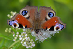 Butterfly peacock eye. Royalty Free Stock Images