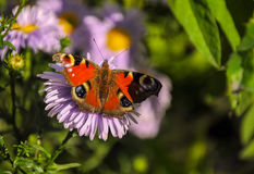 The butterfly of peacock Royalty Free Stock Images