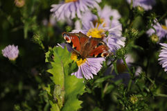 The butterfly of peacock Royalty Free Stock Photography