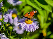 The butterfly of peacock Royalty Free Stock Image