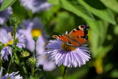 The butterfly of peacock Stock Photos