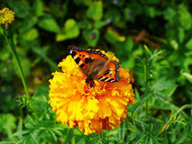 The butterfly of peacock eye sitting on a yellow flower Royalty Free Stock Image