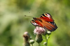 The butterfly of peacock eye on a thistle flower. Stock Image