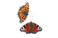 Butterfly peacock eye and tortoiseshell Stock Image