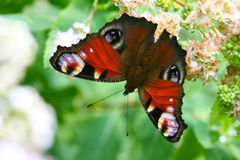 Butterfly peacock Royalty Free Stock Images