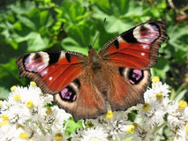 The butterfly peacock (Inachis io) Stock Image