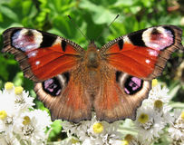 The butterfly peacock (Inachis io) Stock Photos