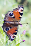 Butterfly - Peacock, Inachis Io Royalty Free Stock Image