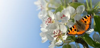 Butterfly on pear blossom as a banner stock photography