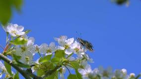 Butterfly on a pear tree flower stock footage