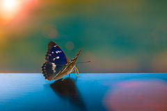 Butterfly with pearly wings in the sun Stock Photos