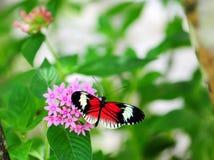Butterfly on Pentas lanceolata Royalty Free Stock Photos